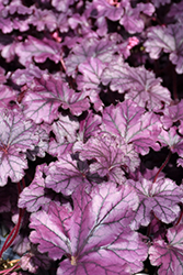 Forever® Purple Coral Bells (Heuchera 'Forever Purple') at Bedford Fields