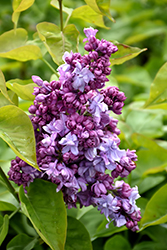 Katherine Havemeyer Lilac (Syringa vulgaris 'Katherine Havemeyer') at Bedford Fields
