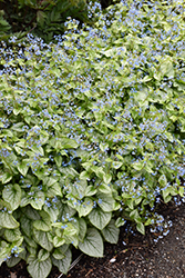 Jack Frost Bugloss (Brunnera macrophylla 'Jack Frost') at Bedford Fields