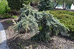 Weeping Blue Spruce (Picea pungens 'Pendula') at Bedford Fields