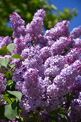 Common Lilac (Syringa vulgaris) at Bedford Fields