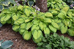 Old Glory Hosta (Hosta 'Old Glory') at Bedford Fields