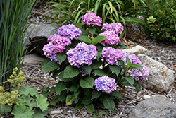 Bloomstruck® Hydrangea (Hydrangea macrophylla 'PIIHM-II') at Bedford Fields