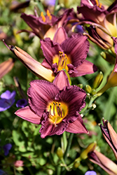 Purple de Oro Daylily (Hemerocallis 'Purple de Oro') at Bedford Fields