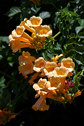 Yellow Trumpetvine (Campsis radicans 'Flava') at Bedford Fields