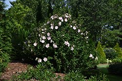 Pink Chiffon® Rose of Sharon (Hibiscus syriacus 'JWNWOOD4') at Bedford Fields
