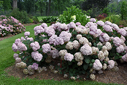 Incrediball® Blush Smooth Hydrangea (Hydrangea arborescens 'NCHA4') at Bedford Fields