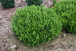 Sprinter® Boxwood (Buxus microphylla 'Bulthouse') at Bedford Fields
