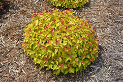 Double Play® Candy Corn® Spirea (Spiraea japonica 'NCSX1') at Bedford Fields