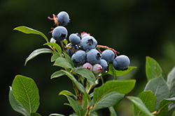 Northland Blueberry (Vaccinium corymbosum 'Northland') at Bedford Fields