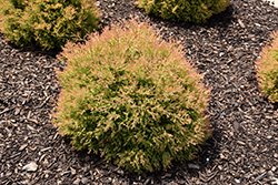 Fire Chief™ Arborvitae (Thuja occidentalis 'Congabe') at Bedford Fields