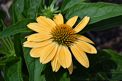 Sombrero® Granada Gold Coneflower (Echinacea 'Balsomold') at Bedford Fields