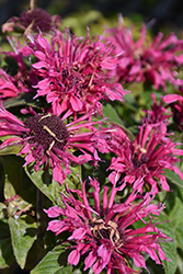 Cranberry Lace Beebalm (Monarda 'Cranberry Lace') at Bedford Fields