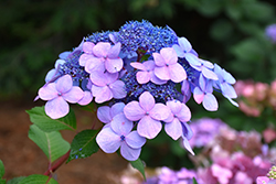 Twist-n-Shout® Hydrangea (Hydrangea macrophylla 'PIIHM-I') at Bedford Fields