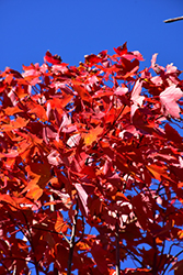 October Glory Red Maple (Acer rubrum 'October Glory') at Bedford Fields