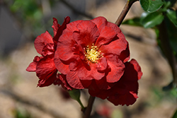 Double Take Scarlet™ Flowering Quince (Chaenomeles speciosa 'Double Take Scarlet Storm') at Bedford Fields