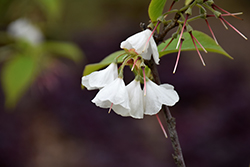 Wedding Bells Carolina Silverbell (Halesia tetraptera 'Wedding Bells') at Bedford Fields