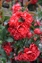 Double Take Pink™ Flowering Quince (Chaenomeles speciosa 'Double Take Pink Storm') at Bedford Fields