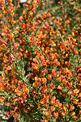 Lena Scotch Broom (Cytisus 'Lena') at Bedford Fields