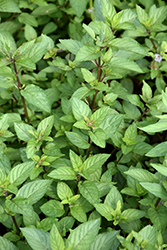 Chocolate Mint (Mentha x piperita 'Chocolate') at Bedford Fields