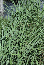 Lemon Grass (Cymbopogon citratus) at Bedford Fields